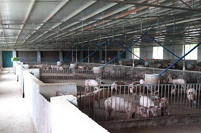 内江猪是我国华北、东北、西北和西南等地区开展猪杂种优势利用的良好亲本之一